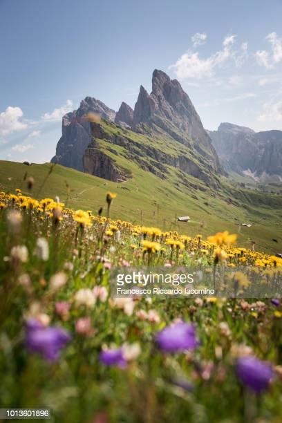 seceda mountain peak with flowers - 南チロル ストックフォトと画像