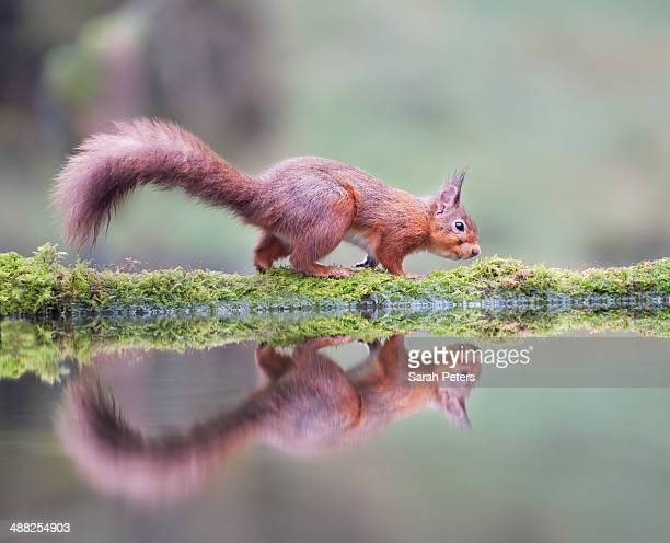 secret squirrel - galloway scotland stock pictures, royalty-free photos & images