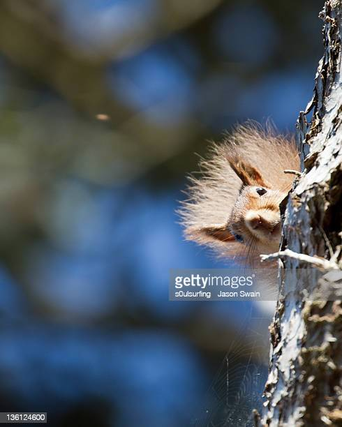 secret squirrel with bokeh background - american red squirrel stock photos and pictures