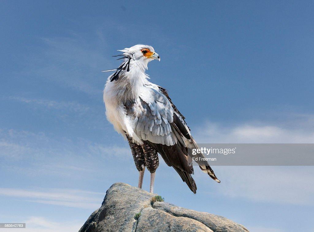 Secretary Bird in Naturalistic Setting : Stock Photo
