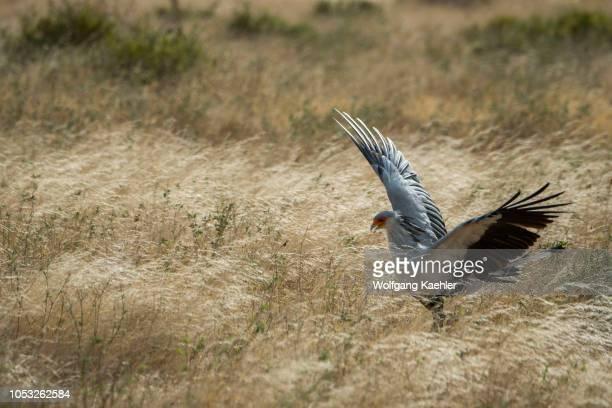 Secretary bird is looking for food in the dry savannah grassland of Samburu National Reserve in Kenya
