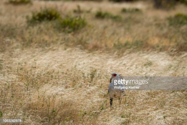 Secretary bird with a mouse in the dry savannah grassland of Samburu National Reserve in Kenya