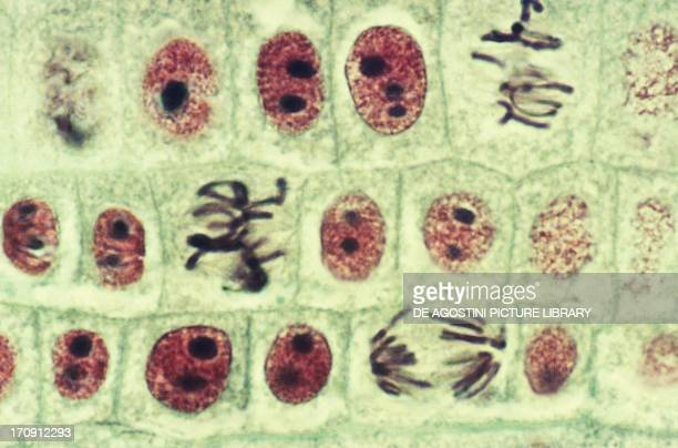 Section of apex of vegetative stems of Allium roots with cells in the mitosis process