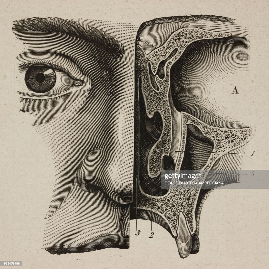 Section of facial bones showing the eye socket the lachrymal sac ...