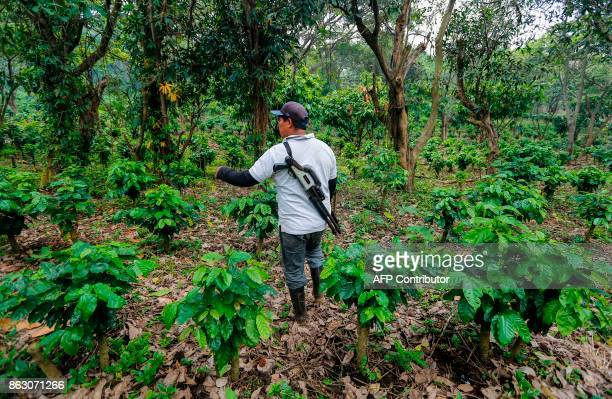 A security guard works at the 'Santa Francisca' farm where coffee rust led to the cutting and burning of coffee trees and where they are now growing...