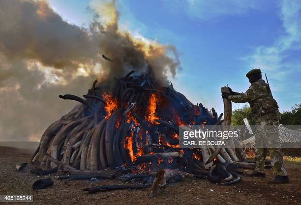 A KWS security officer throws an ivory tusk onto a burning pile of 15 tonnes of elephant ivory seized in Kenya at Nairobi National Park on March 3...