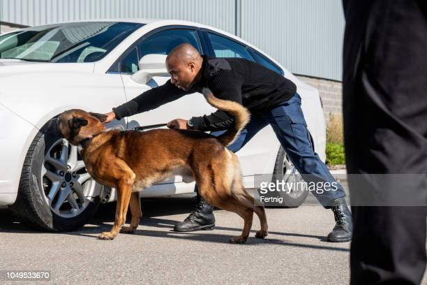k-9 security professional checking a vehicle with a trained sniffer dog. - police dog stock photos and pictures