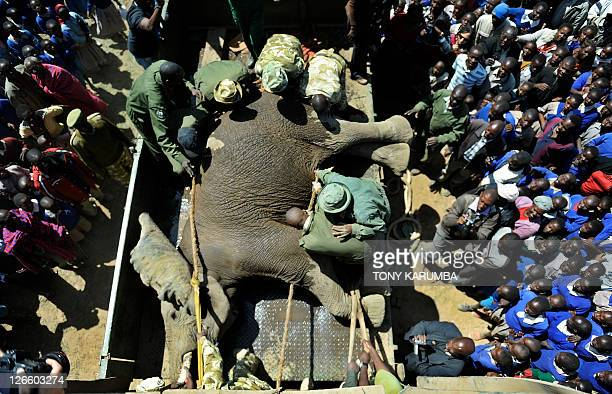 A sedated elephant is loaded into a specialised crate to be translocated September 22 2011 near Narok in Kenya during a translocation excercise...