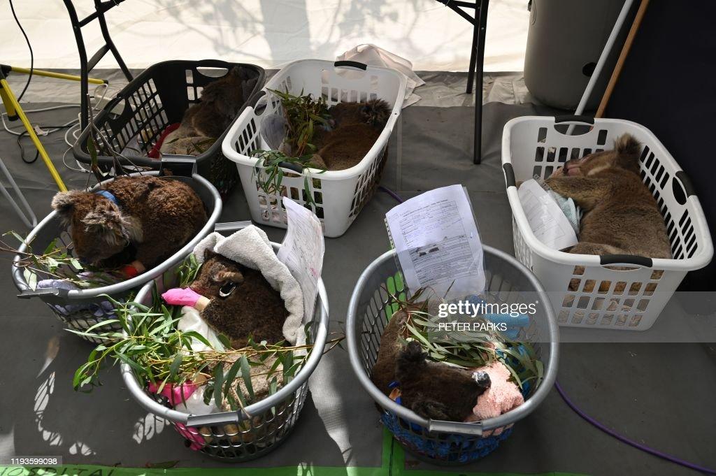 DOUNIAMAG-AUSTRALIA-FIRES-ANIMALS-KOALA : News Photo
