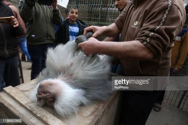 A sedated monkey is pictured in a cage at a zoo in Rafah in the southern Gaza Strip during the evacuation by members of the international animal...