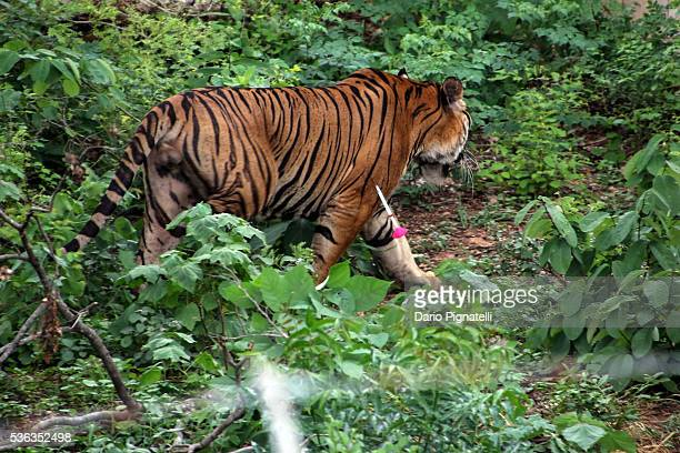 A sedative dart hangs from a tiger's shoulder as it walks in a cage at the Wat Pha Luang Ta Bua Tiger Temple on June 1 2016 in Kanchanaburi province...