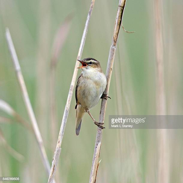 sedge warbler - acrocephalus schoenobaenus - birdsong stock pictures, royalty-free photos & images