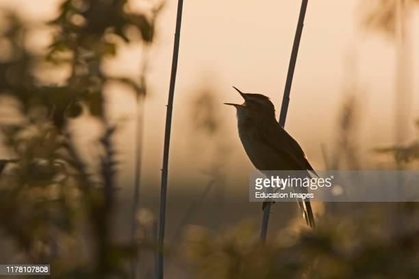 Sedge Warbler Acrocephalus schoenobaenus singing in reedbed North Norfolk