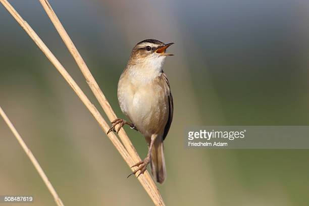 Sedge Warbler -Acrocephalus schoenobaenus-, singing, perched on reed, Lauwersmeer National Park, Holland, The Netherlands