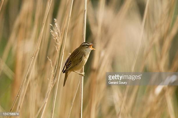 Sedge Warbler (Acrocephalus Schoenobaenus) Adult, Baie De Somme, France, Europe