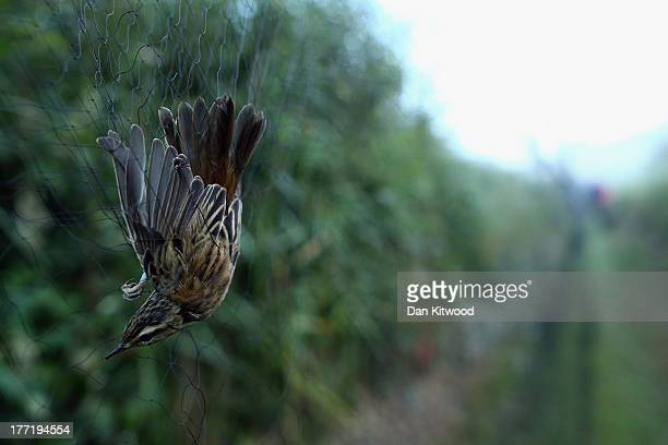 Sedge Warbler hangs in a mist net on a private reserve in East Sussex on August 21 2013 in Rye United Kingdom The BTO are currently in the process of...