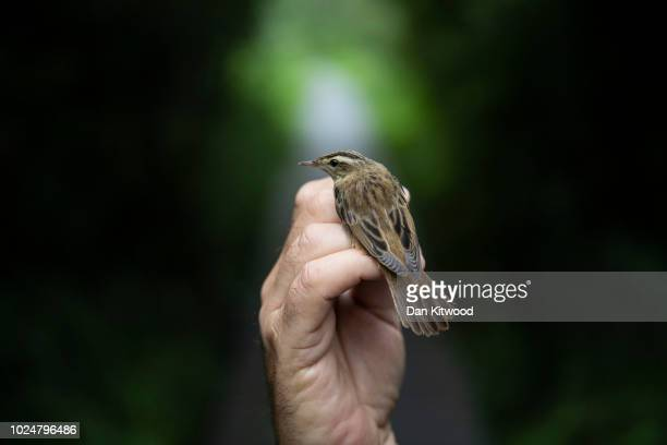 Sedge Warbler is held at the Kent coast's Sandwich Bay Bird Observatory, SBBOT, on August 28, 2018 in Sandwich, England. The SBBOT is an accredited...