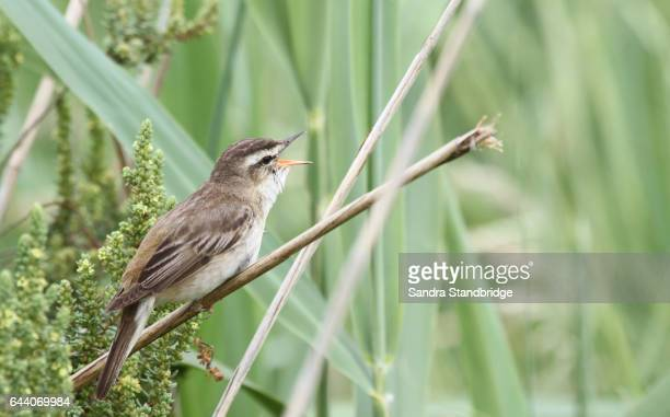 A Sedge Warbler (Acrocephalus schoenobaenus) singing in a reed bed.