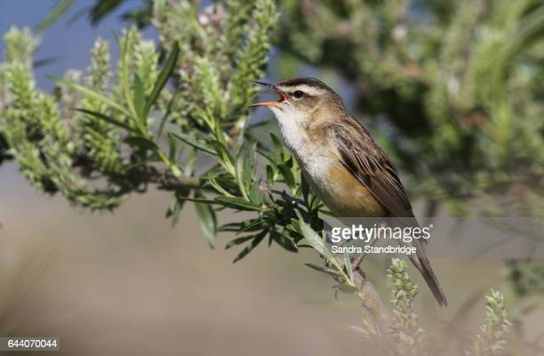 a sedge warbler (acrocephalus schoenobaenus) singing in a willow tree. - songbird stock pictures, royalty-free photos & images