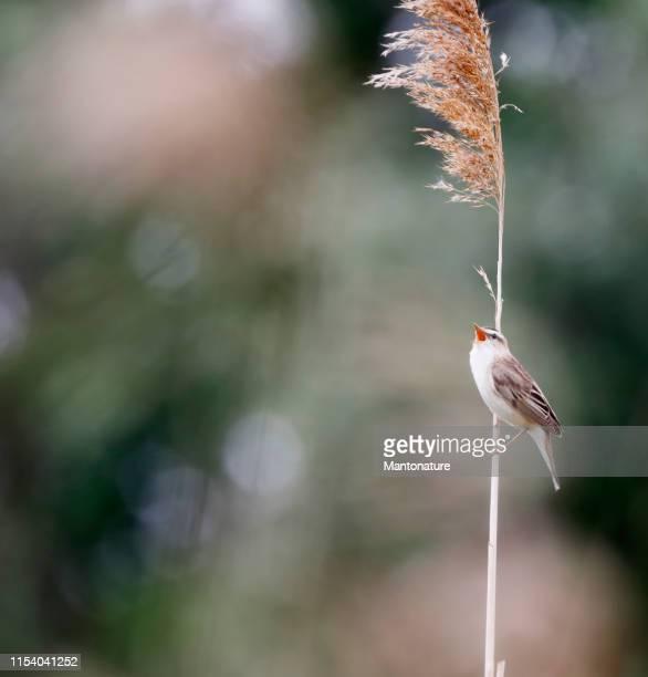 sedge warbler (acrocephalus schoenobaenus) singing - swamp stock pictures, royalty-free photos & images