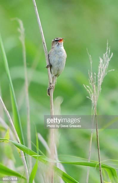 sedge warbler (acrocephalus schoenobaenus) singing - birdsong stock pictures, royalty-free photos & images