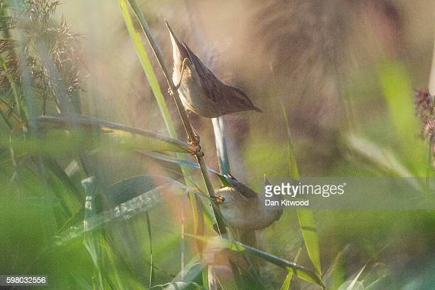 Sedge Warblers squabble in reeds on the Isle of Grain on August 31 2016 in Isle of Grain England The Isle of Grain is the easternmost point of the...
