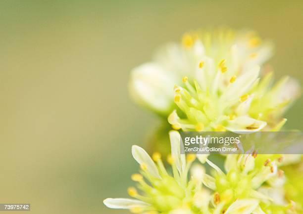 Sedum flowers, extreme close-up
