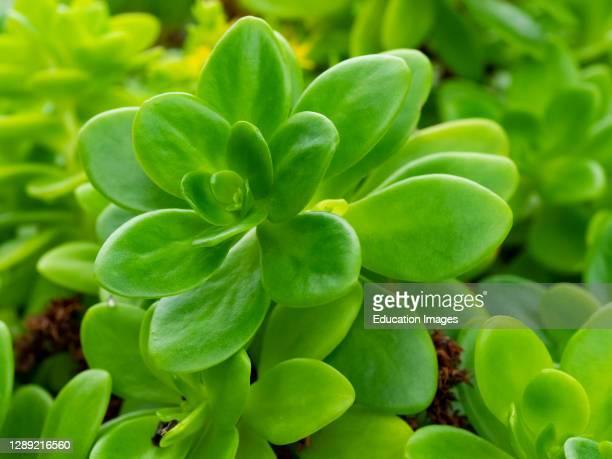 Sedum ternatum, Wild stonecrop,, Cornwall, UK.