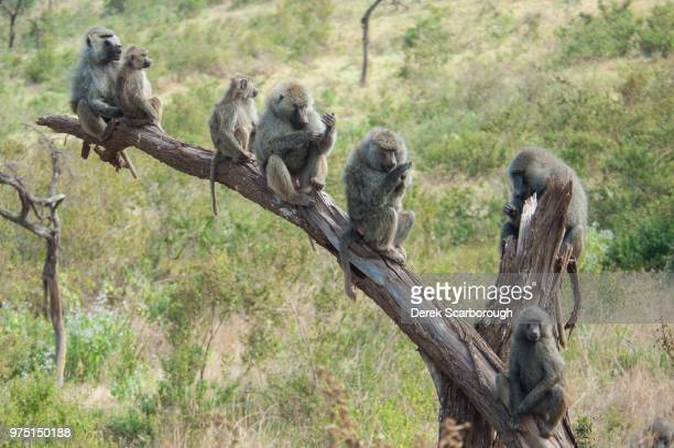 see no evil... - baboon stock pictures, royalty-free photos & images