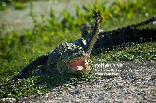 see ya later alligator  - alligator stock photos and pictures
