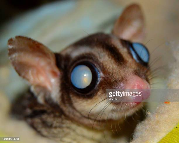 see ya - sugar glider stock photos and pictures