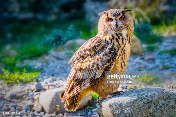 i see you - eurasian eagle owl stock pictures, royalty-free photos & images