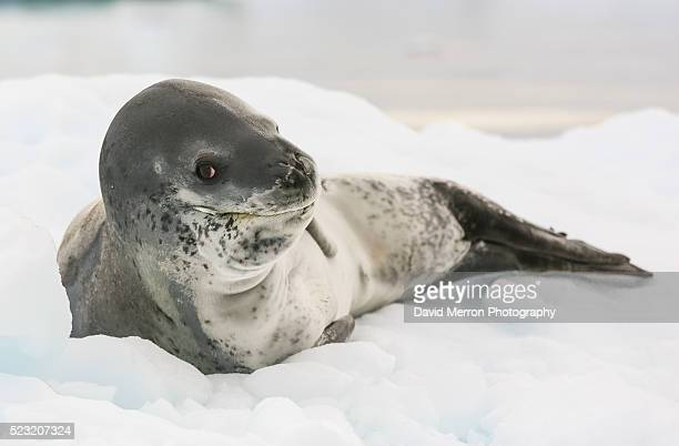 i see you - leopard seal stock pictures, royalty-free photos & images