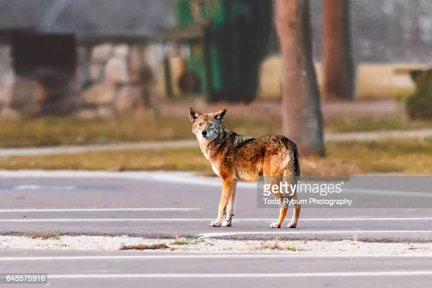 i see you - coyote stock pictures, royalty-free photos & images