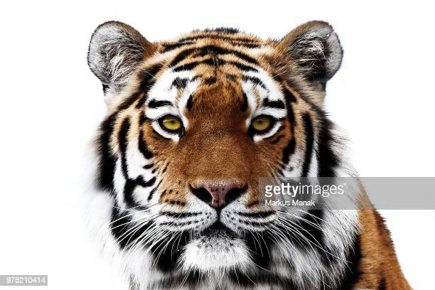 i see you - siberian tiger stock pictures, royalty-free photos & images
