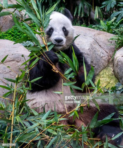 i see you - giant panda stock pictures, royalty-free photos & images