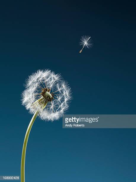 Seed blowing from dandelion