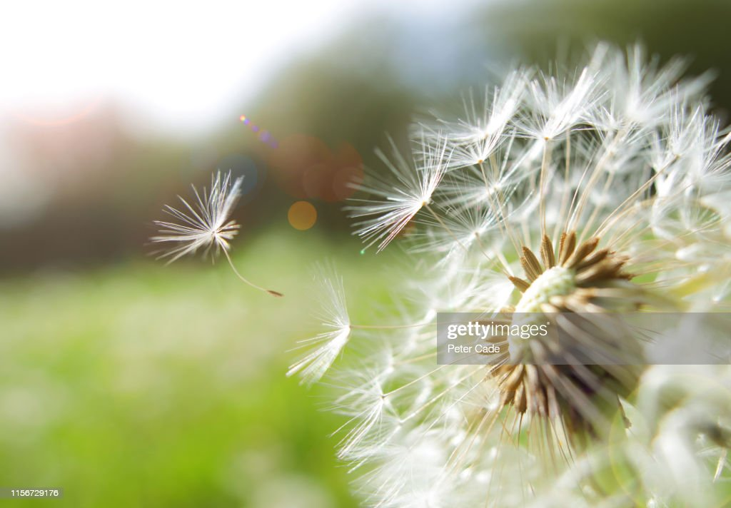 Seed coming away from dandelion : Stock Photo