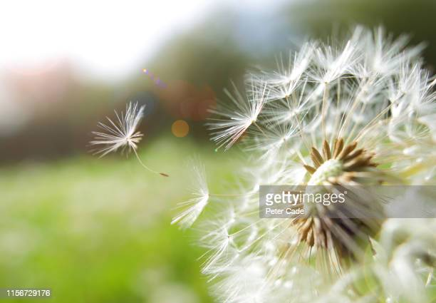 seed coming away from dandelion - wind stockfoto's en -beelden