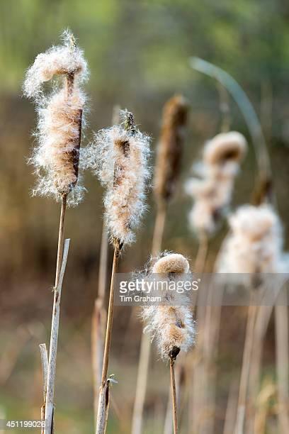 Seed dispersal of bullrush a sedge grass Cyperaceae in wetland in United Kingdom