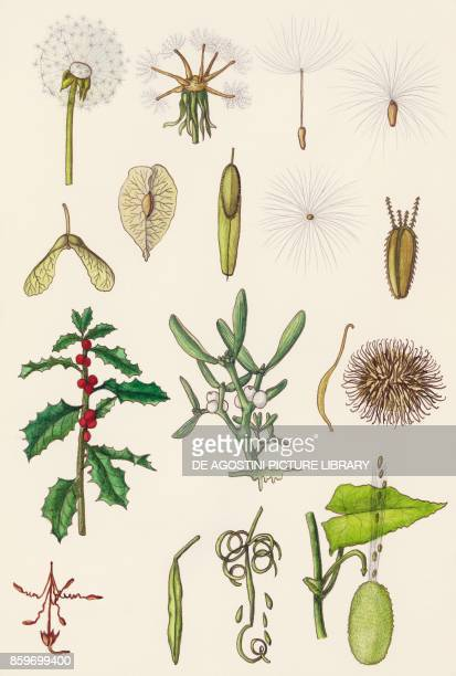 Seed dispersal of some plants drawing