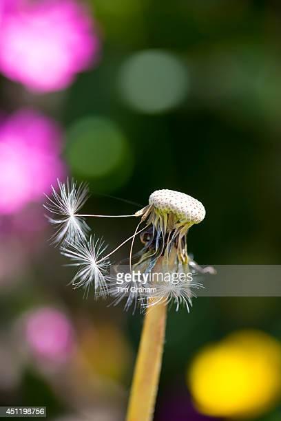 Seed head Dandelion clock of Common Dandelion Taraxacum officinale dispersing seeds by wind dispersal in summertime England