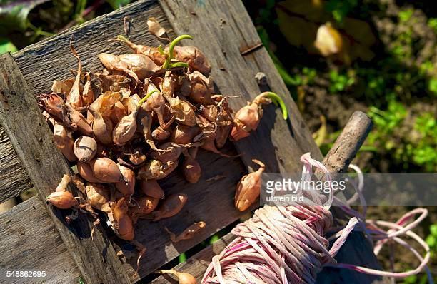 seed onions