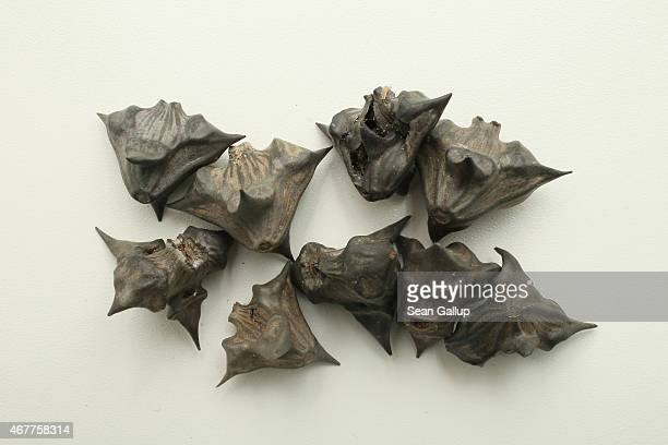 Seed pods of Trapa natans, or water chestnut, lie on display at the new center and repository of the Dahlem Seed Bank on its opening day on March 27,...