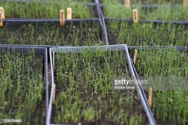 Seeding crops at the Clark Farm in Carlisle MA on March 24 2020 as the COVID19 pandemic continues The early spring operations of local farms and...