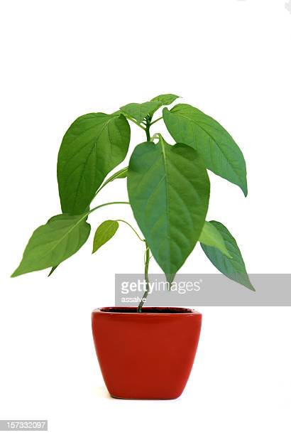 seeding of a chili plant in red flowerpot (2)