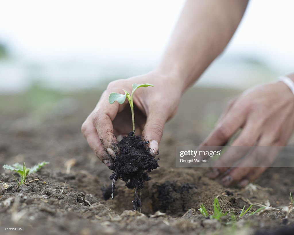 Seedling being planted in ground. : ストックフォト