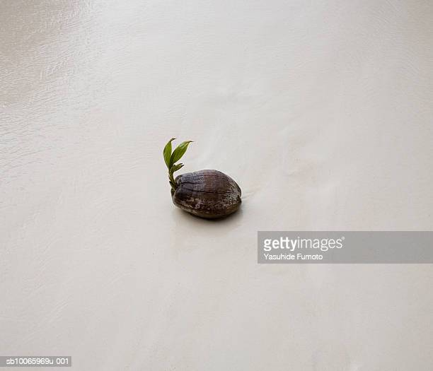 Seedling coming out from coconut on beach, close-up