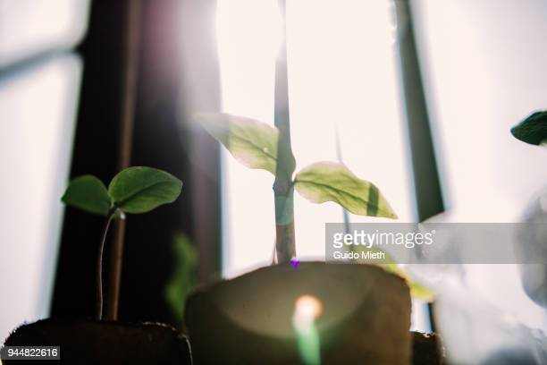seedling in bright sunlight. - cultivated stock pictures, royalty-free photos & images