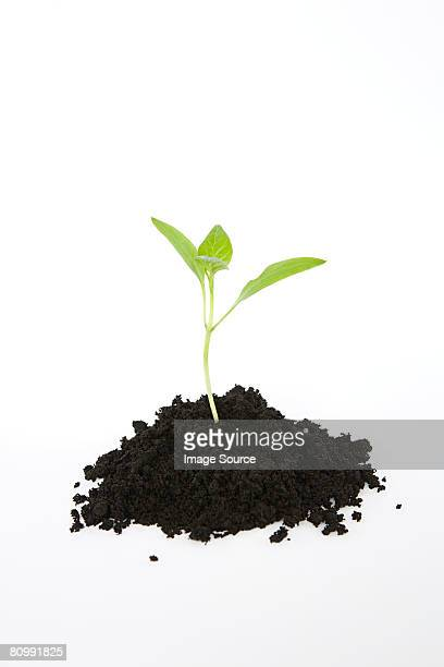 seedling in soil - seedling stock pictures, royalty-free photos & images